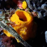 Yellow Tube Sponge on Corals
