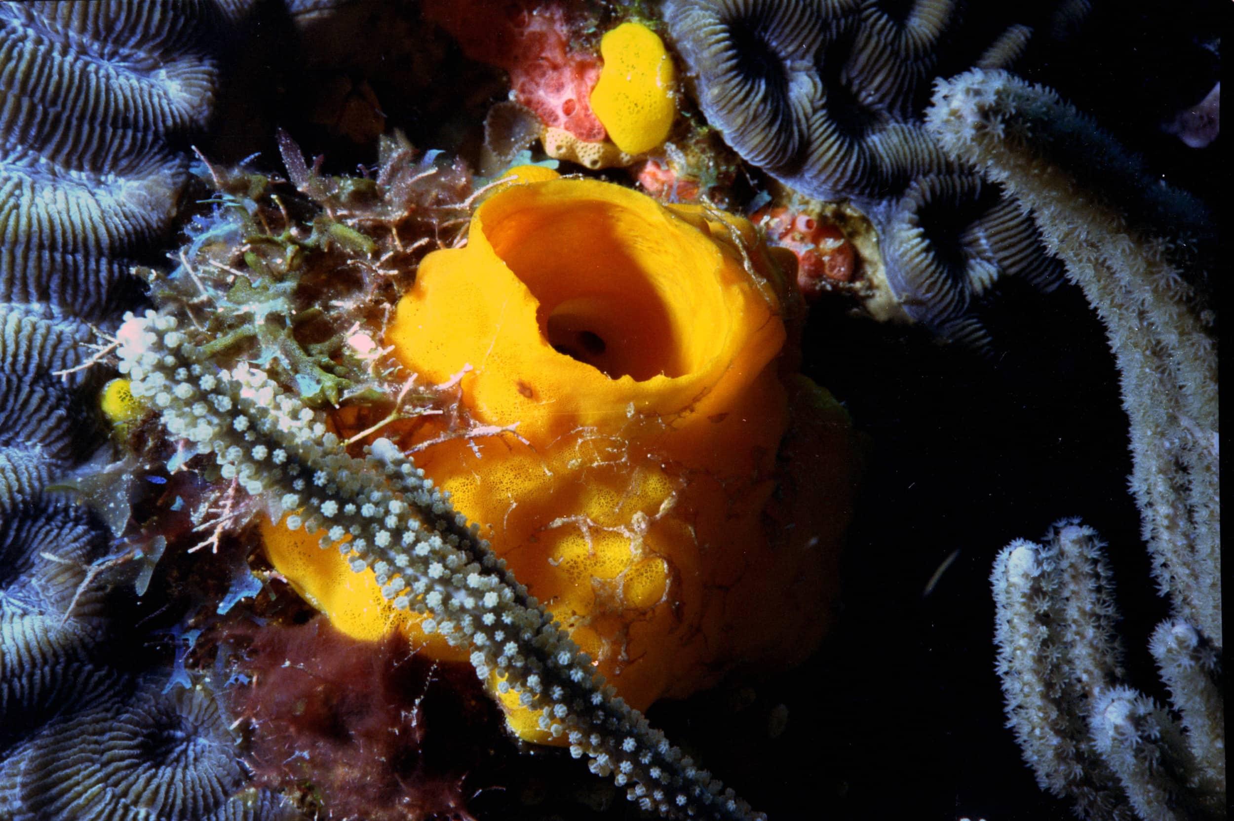 Yellow Tube Sponge on Corals