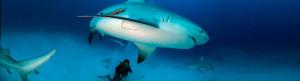 bull shark by luis javier sandoval