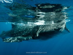 whaleshark on the surface of the ocean