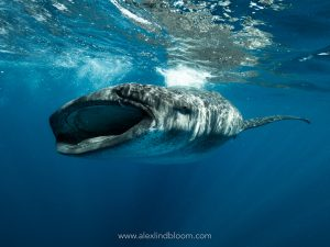 whale shark safari pro dive