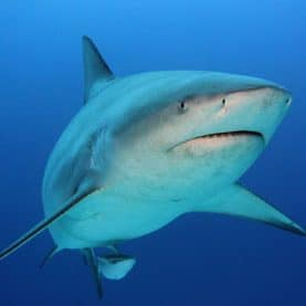 bull shark front
