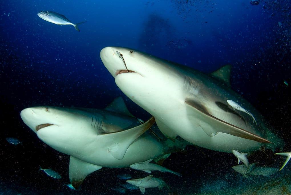 bull shark frontal
