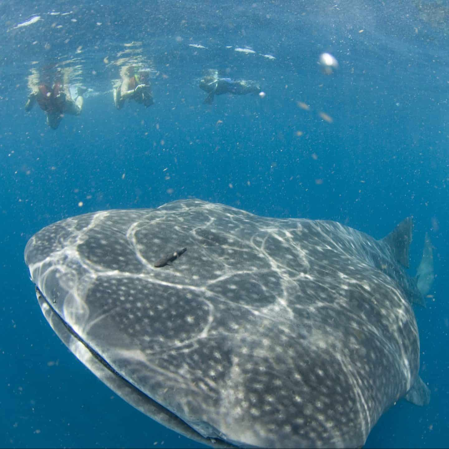 whale-shark-safari-pro-dive-snorkelers