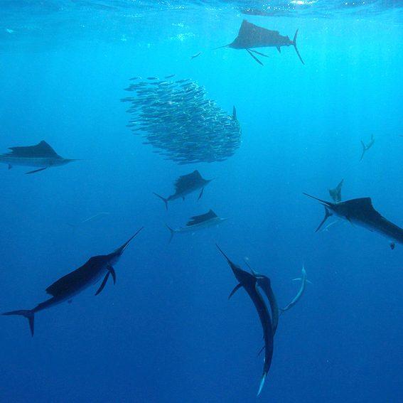 sailfish-run-mexico