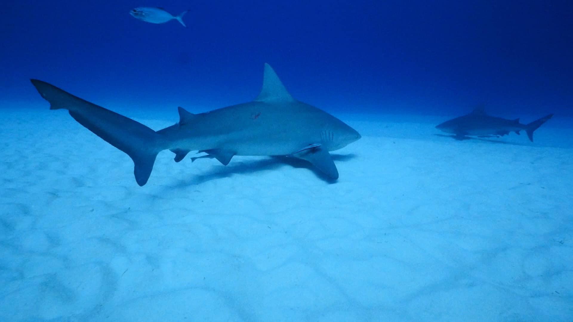bull-shark-dive-pro-dive-international-mexico-7