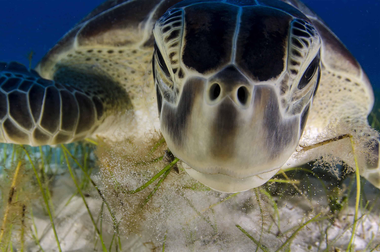 turtle feeding on see