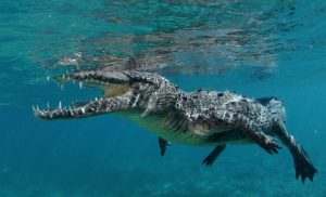 snorkel_crocodiles_cuba
