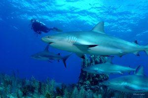 sharks_cuba