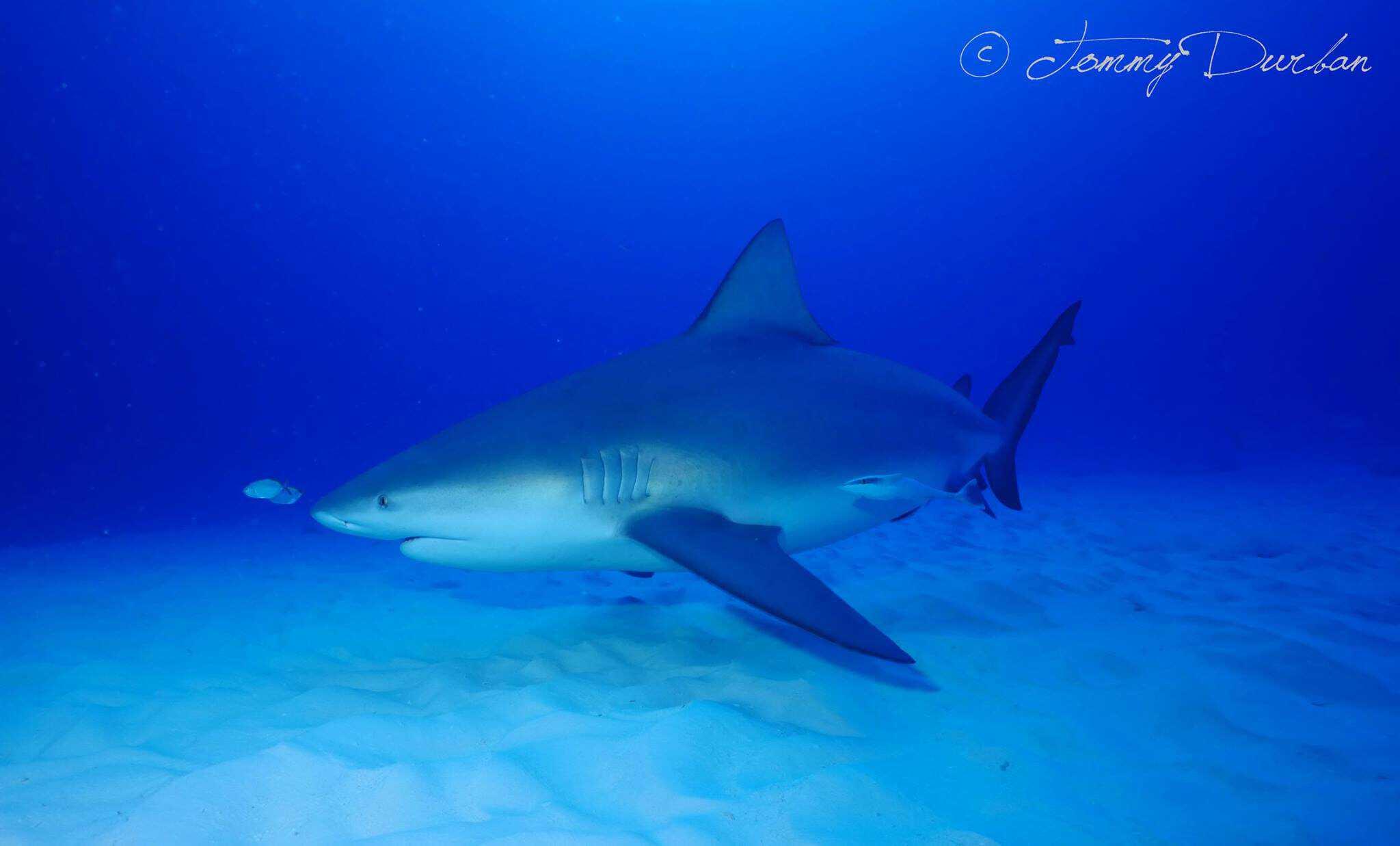bull_sharks