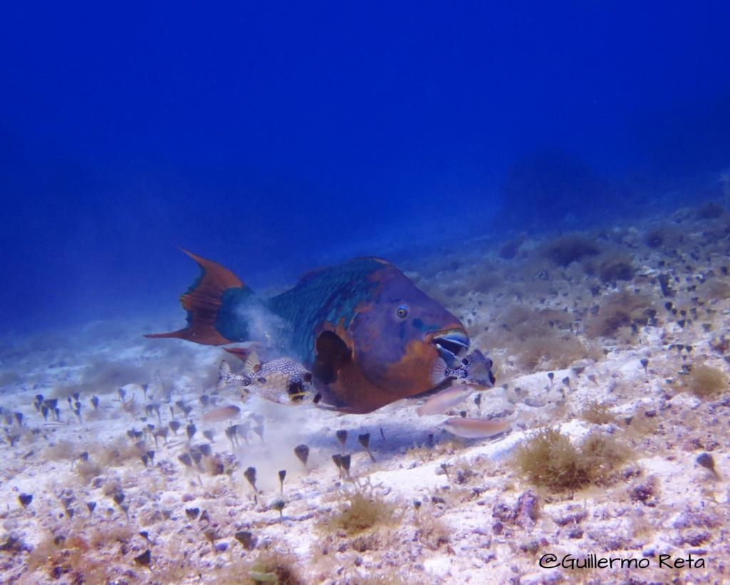 parrotfish cozumel by guillermo reta