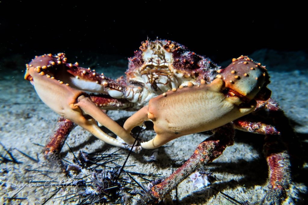 crab cozumel night dive