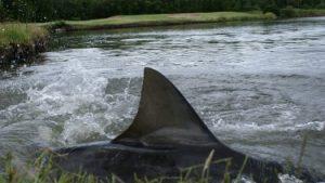 carbrook bull sharks