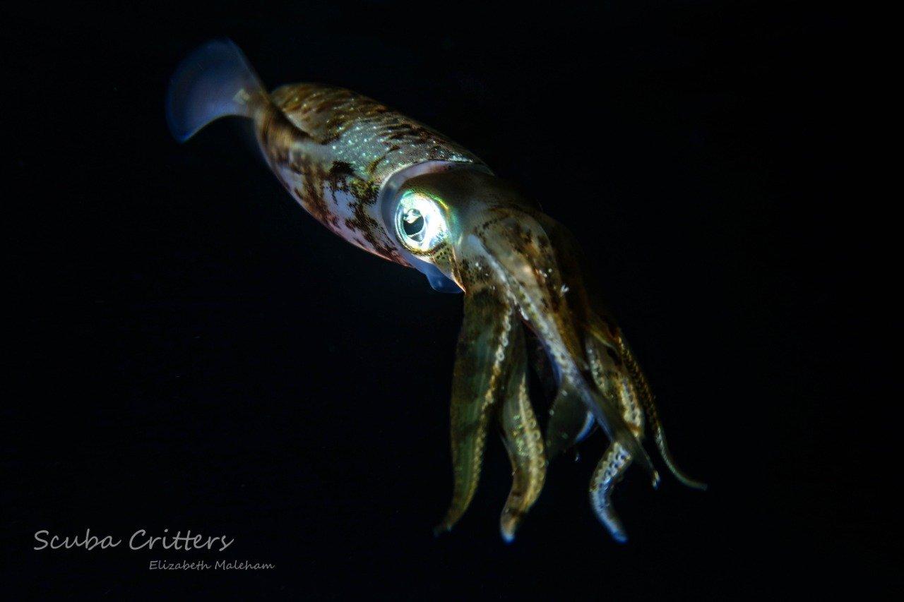 squid cozumel night dive
